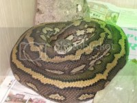 W Midlands Female Striped Coastal Carpet python - Reptile ...