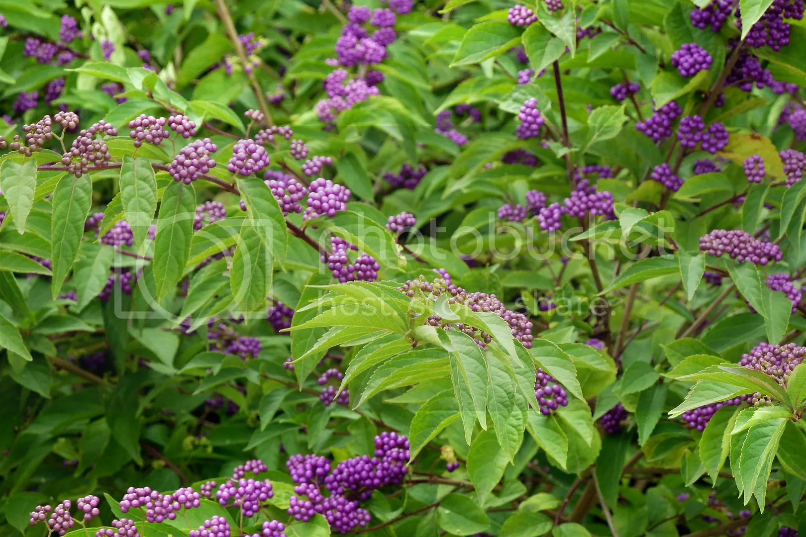 callicarpa bodinieri for a profusion of violet berries in autumn igrowhort. Black Bedroom Furniture Sets. Home Design Ideas