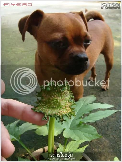 เรดาร์ใบองุ่น, Dorstenia contrajerva, ดอกไม้สีเขียว, ไม้แปลก, ไม้ประหลาด, ไม้หายาก, Contra Hierba, Torus Herb, ต้นไม้, ดอกไม้, aKitia.Com