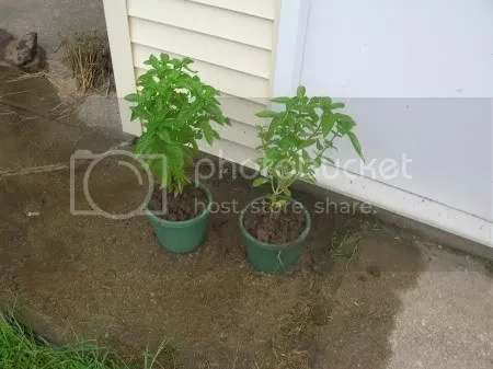The basil plants are potted and left in front of the garage.  What could this mean?