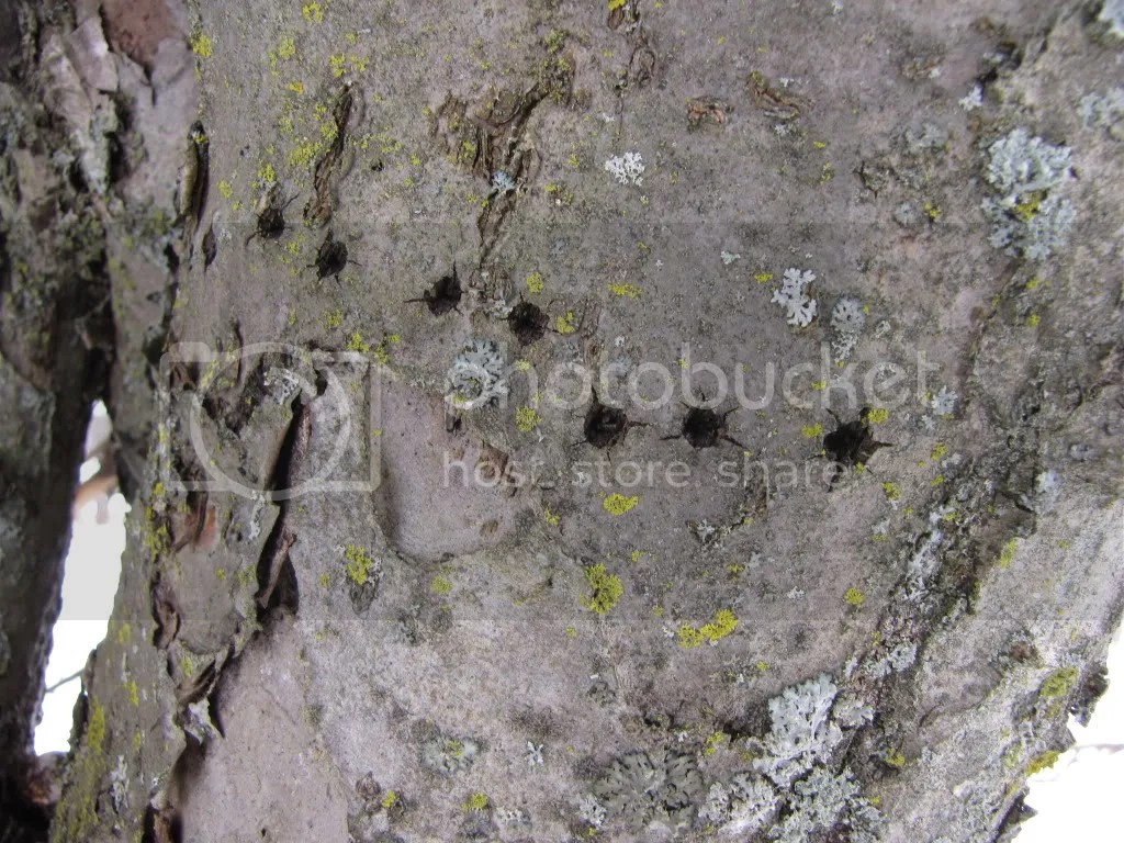 Yellow-bellied sapsucker feeding damage