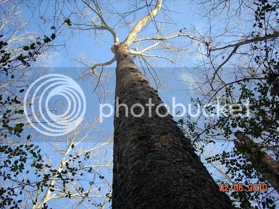Sycamore Tree Wood Uses