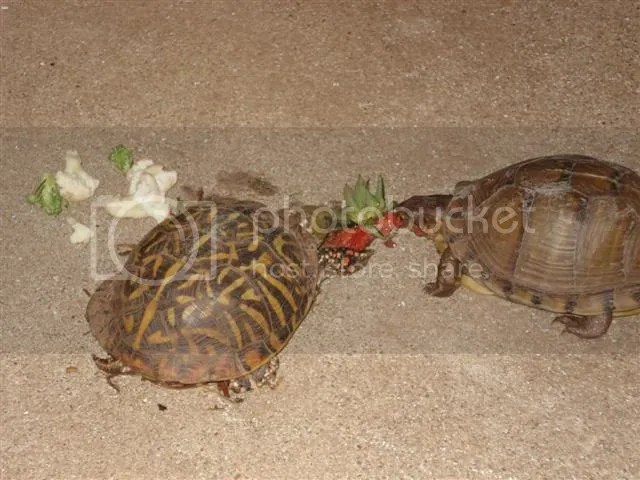 Free range box turtles