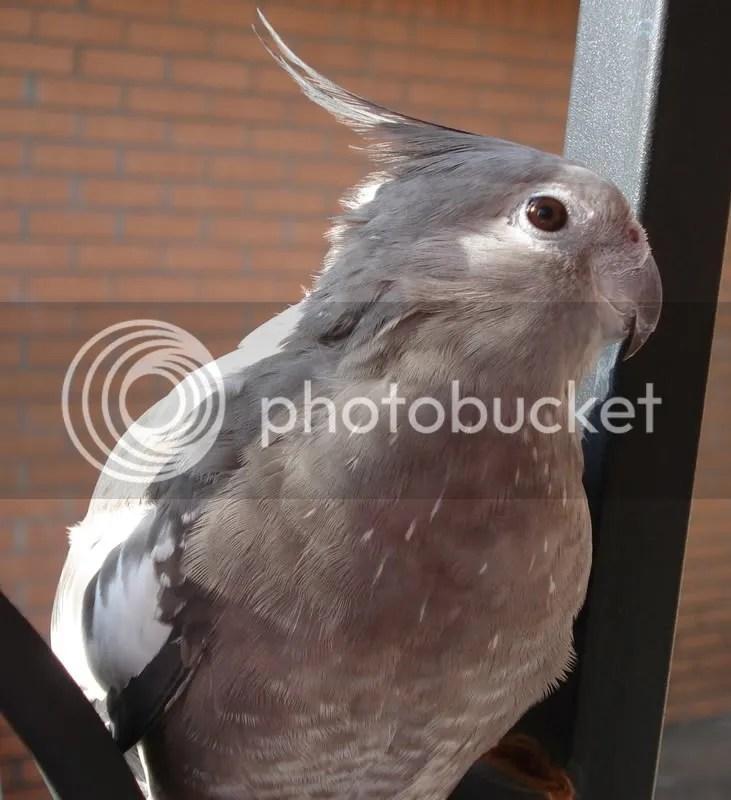 My Pretty Penny - Cockatiel