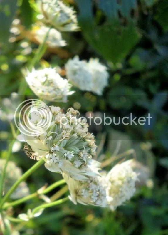 Cosa avete ancora fiorito in giardino   Pagina 2  Forum di Giardinaggioit