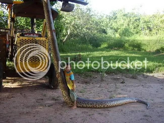 Ditemukan 70 bayi anaconda dari perut induknya