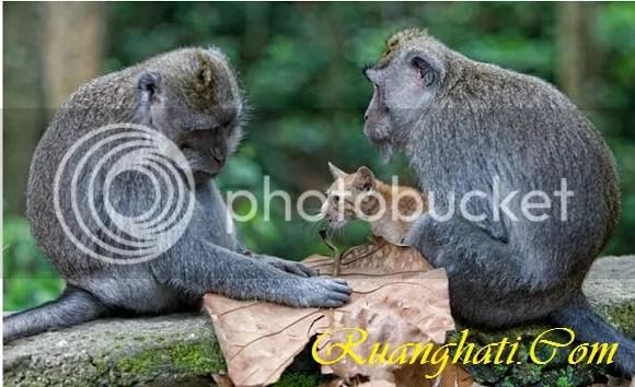 Monyet dengan penuh kasih menyayangi kucing yang di adopsi di sebuah hutan di Ubud Bali
