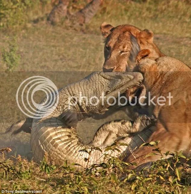 Singa memangsa buaya