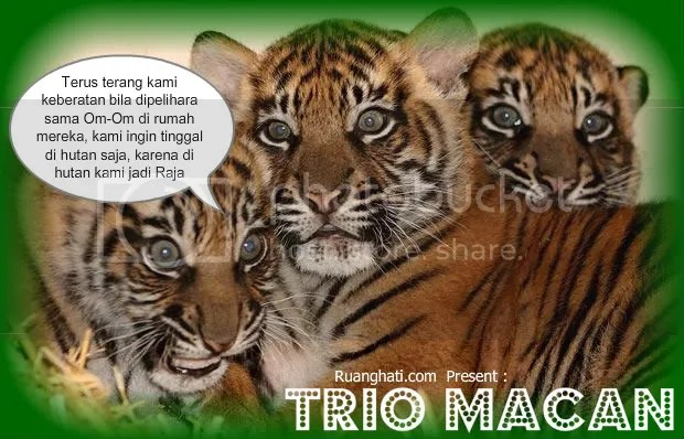 trio macan dipelihara om-om