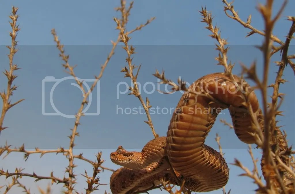 Sidewinder Rattlesnake (Crotalus cerastes)