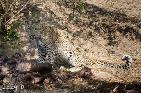 LeopardandlionsIzzy9.123725.jpg