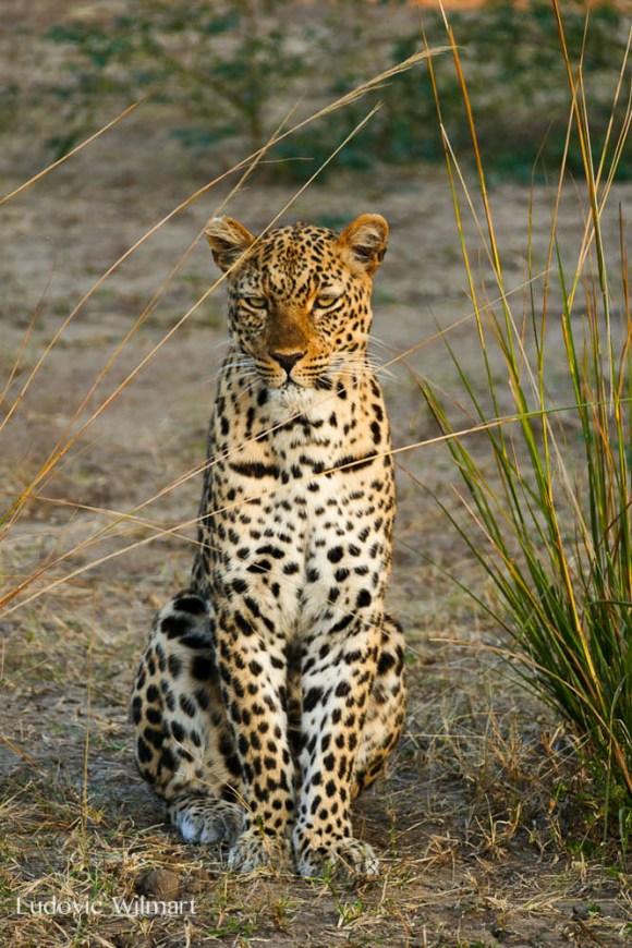leopardludo3.184551.jpg