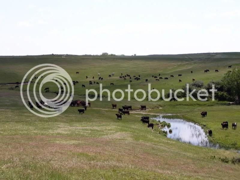 ocker cattle on green grass and water.