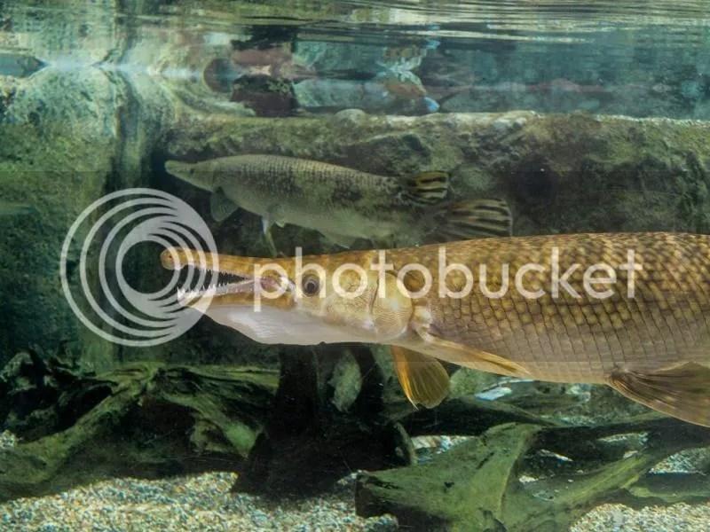 Alligator gar in Mississippi River