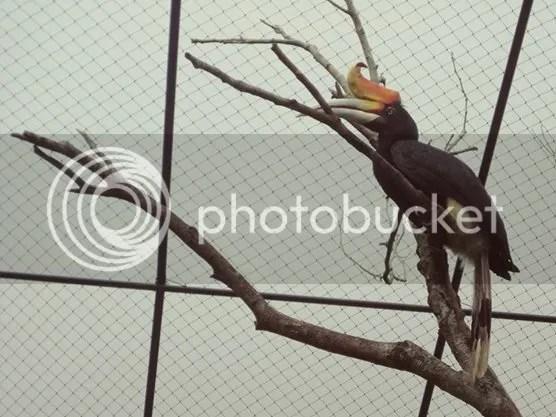 Hornbill spotted at The Hill Hotel & Resort in Sibolangit, Deli Serdang, North Sumatra