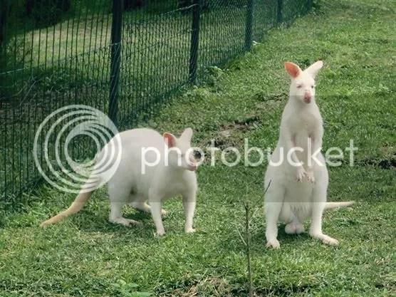 Kangaroos spotted at The Hill Hotel & Resort in Sibolangit, Deli Serdang, North Sumatra