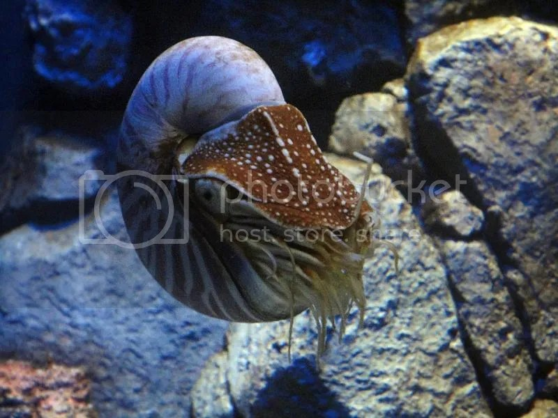 Chambered nautilus in S.E.A. Aquarium Sentosa
