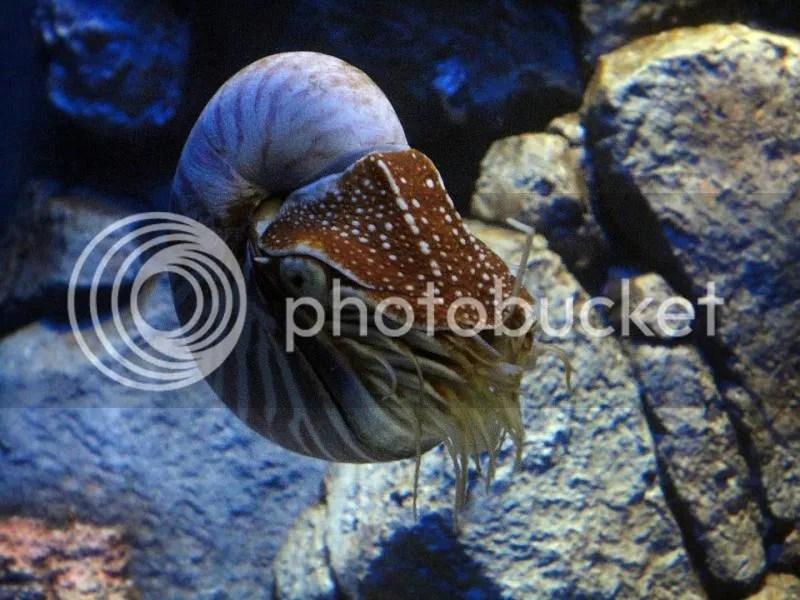 Chambered nautilus in S.E.A. Aquarium Sentosa
