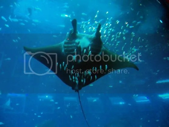 Giant oceanic manta ray in S.E.A. Aquarium Sentosa