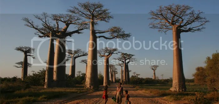Avenue of the Baobas, Madagascar