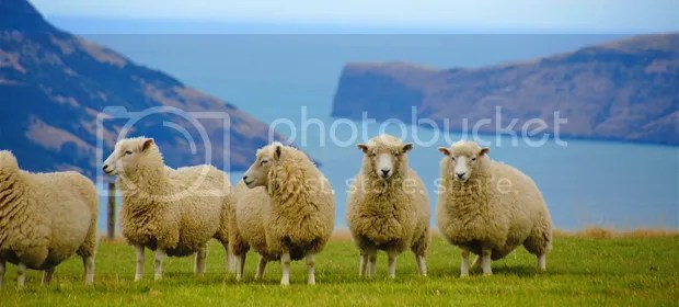Sheeps, New Zealand
