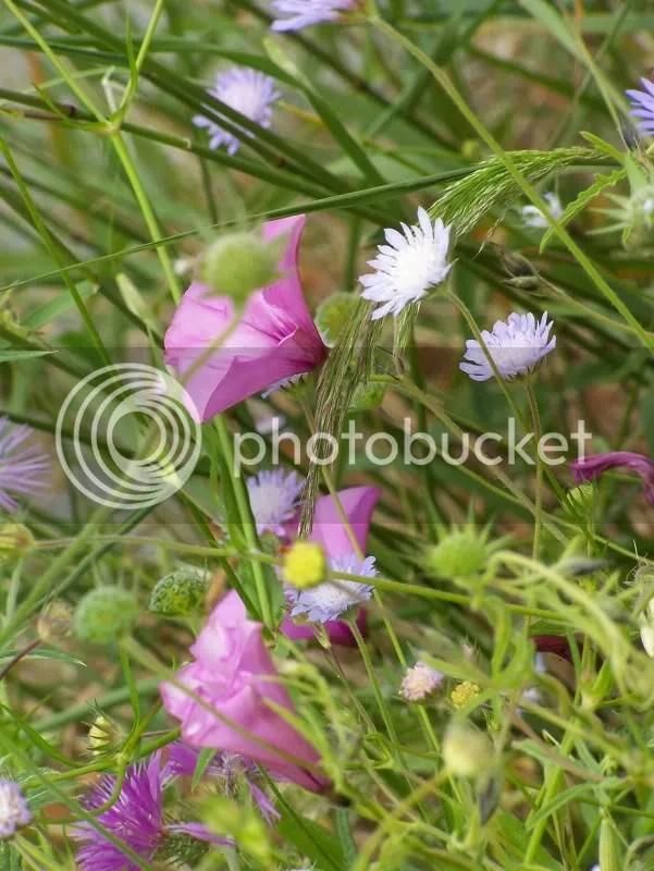 fiori selvatici -diga di siderno