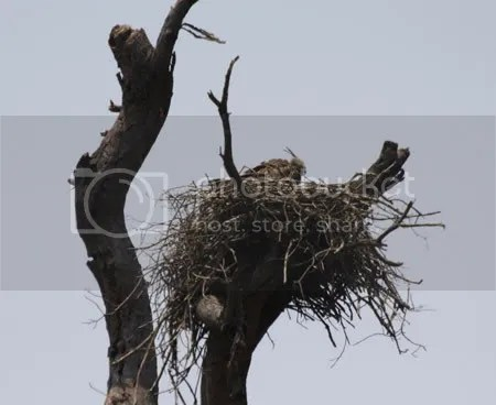 Nested Hawk Eagle