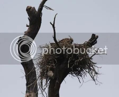 Nested Hawk Eagle