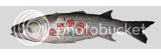烏頭 - 魚樂圈圖冊 - 香港釣網會 - Powered by Discuz!