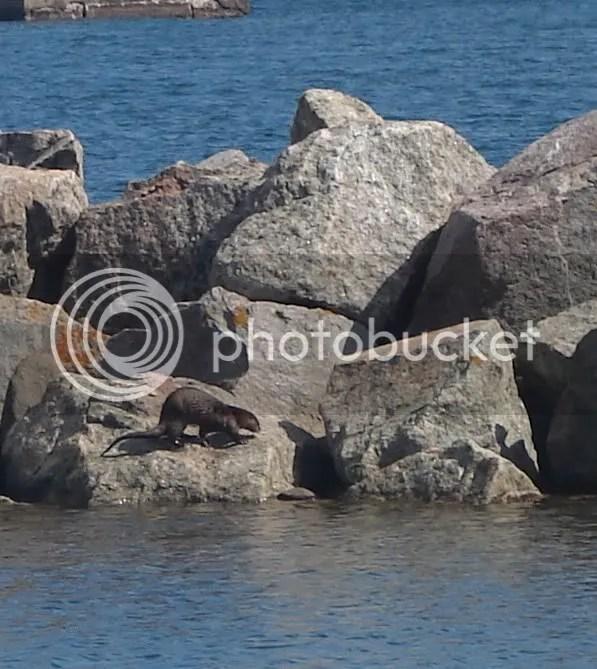 Otter in the Grand Marais Harbor (2009-06-20)