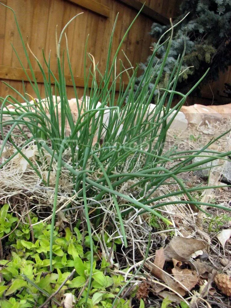 Survivor Chives