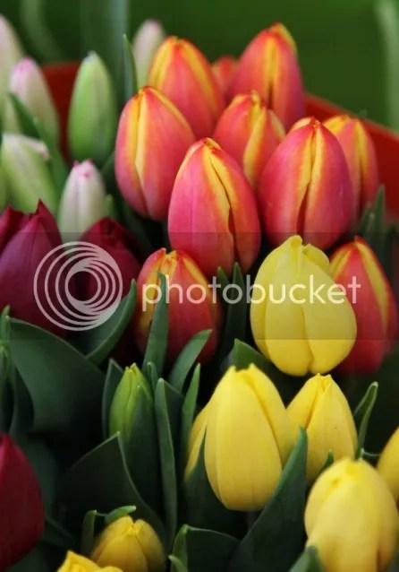 Kuncup Bunga Tulip 02