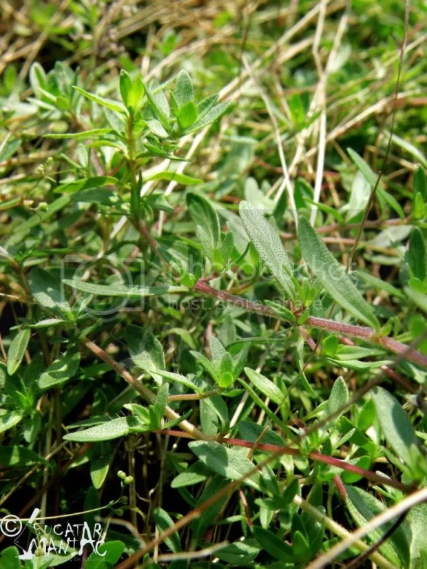 cimbrisor salbatic,lamaita,plante aromatice salbatice