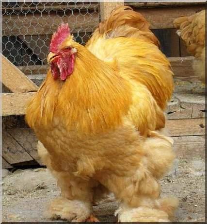 Races de poules c e becs et plumes for Race de coq qui ne chante pas