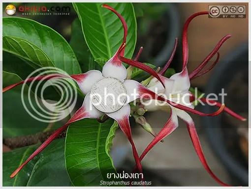ยางน่องเถา, Strophanthus caudatus, ยางน่องเครือ, เครือน่อง,  ยางน่อง, ยางมีพิษ, ไม้เลื้อย, APOCYNACEAE, ไม้พุ่มรอเลื้อย,  ไม้เลื้อยขนาดใหญ่, ต้นไม้, ดอกไม้, aKitia.Com
