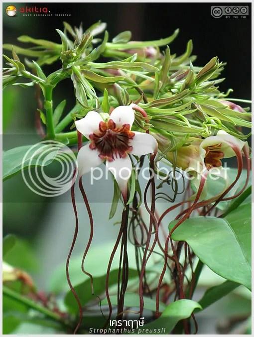 เคราฤๅษี, เคราฤษี, Strophanthus preussii, ต้นไม้, ดอกไม้, aKitia.Com
