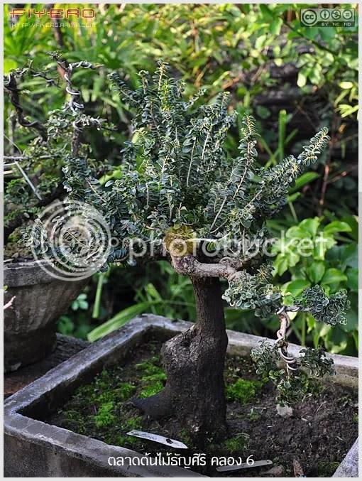 ตลาดต้นไม้ธัญศิริ, ตลาดต้นไม้ธัญบุรี, ตลาดต้นไม้คลองหก, ตลาดต้นไม้คลอง 6, ตลาดต้นไม้, ไม้ดอกไม้ประดับ, ไม้ล้อม, ซื้อต้นไม้, ขายต้นไม้, ปทุมธานี, aKitia.Com