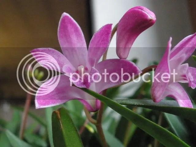 Le nostre foto di orchidee identificate  Forum Giardinaggio