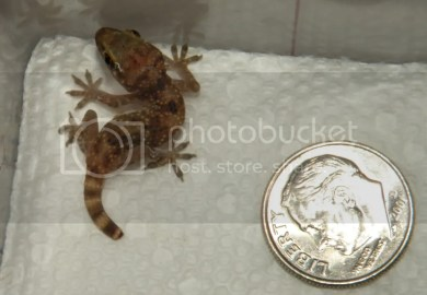 Mediterranean House Gecko Care What To Feed A House Gecko