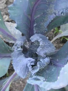 Overrun Purple Cabbage