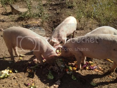 pigs in sept (prolly 40 lbs heaviet now)