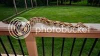 Carpet Python or Boa?