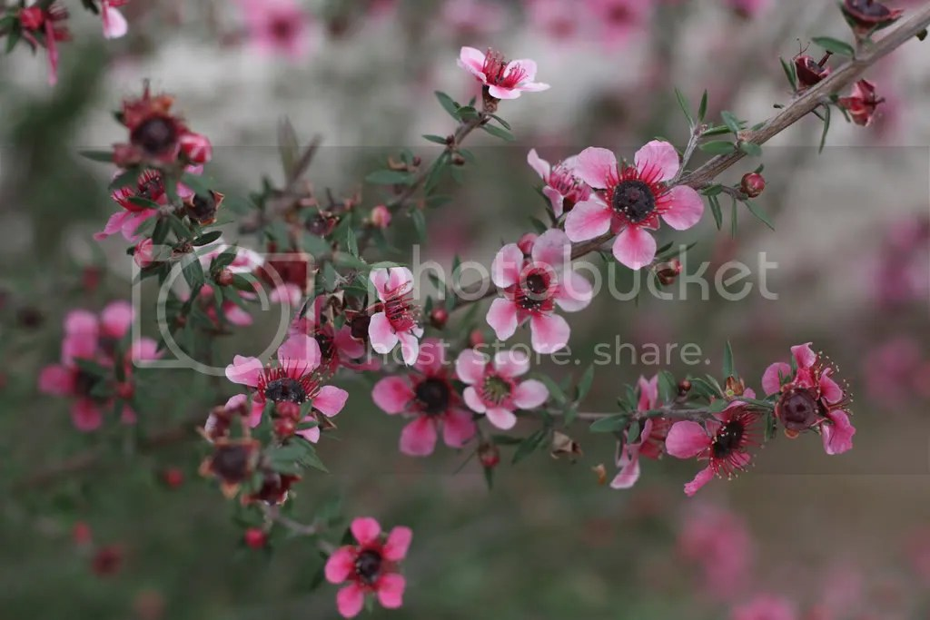 Ornamental Plant Of The Week Adventures In Landscape