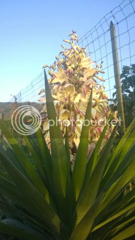 yucca gloriosa  Forum Giardinaggio