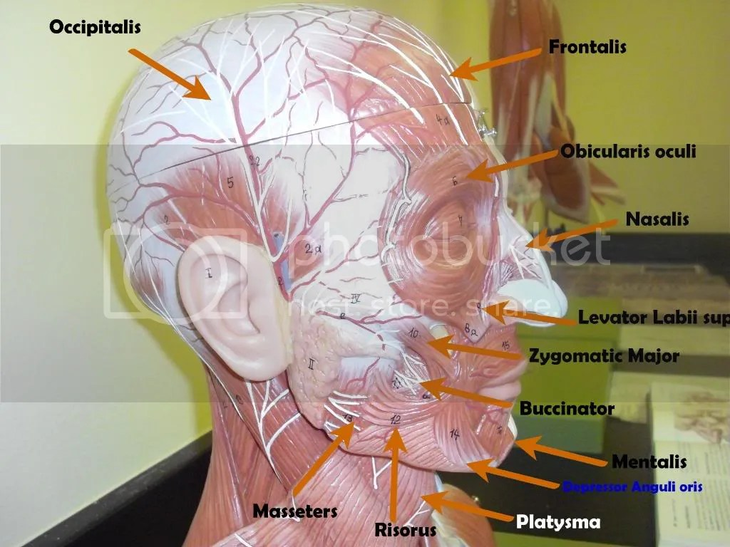 cranium muscles, muscles of the head