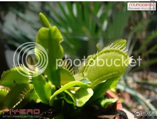 กาบหอยแครง, พืชกินแมลง, ไม้กินแมลง, ไม้แปลก, กับดัก, ไม้ประหลาด, ต้นไม้, ดอกไม้, Dionaea muscipula, Venus Flytrap, Venus's Flytrap, Carnivorous Plant, Droseraceae, ต้นไม้, ดอกไม้, aKitia.Com