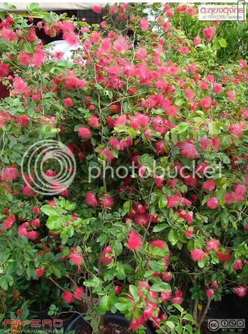 จตุจักร, ตลาดต้นไม้จตุจักร, ตลาดจตุจักรวันพุธ-พฤหัส, ตลาดเจเจวันพุธ, ตลาดต้นไม้, ตลาดนัดไม้ดอกไม้ประดับ, ร้านขายต้นไม้, เจเจ, ต้นไม้, ดอกไม้, ต้นไม้หายาก, ไม้แปลก, ต้นไม้แปลก, jatujak, Jatujak plant market, JJ plant market, aKitia.Com