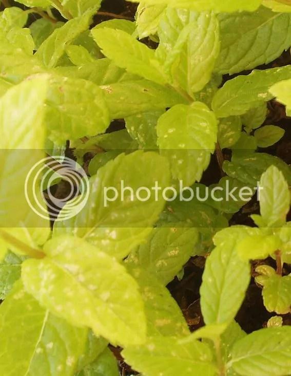 A proposito di giardinaggio le mie erbe aromatiche mi si son ammalate  Coquinariait Tavola