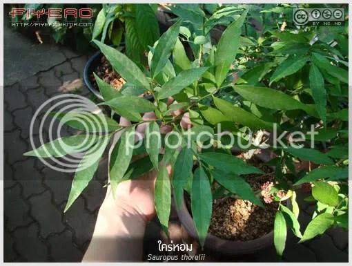 ใคร่หอม, ไคร้หอม, สะเลียมหอม, ไค้ขม, Sauropus thorelii, ไม้แปลก, ไม้ดอกหอม, ไม้หายาก, สมุนไพร, ดอกสีแดง, ยาจีน, ต้นไม้, ดอกไม้, aKitia.Com