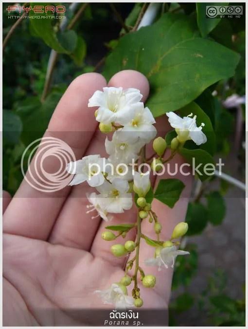 ฉัตรเงิน, ลดา, ลดาวัลย์, ลัดดา, ลัดดาวัลย์, ไม้ดอกหอม, ไม้เถา, ดอกสีขาว, ไม้เลื้อยคลุมรั้ว, ไม้ใหม่, Porana sp, Bridal Creeper, Porana volubilis, Snow Creeper, ต้นไม้, ดอกไม้, aKitia.Com